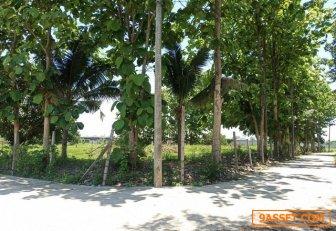 1 หมื่น ตรว.ขายที่ดินหลังโครงการหมู่บ้าน บุราสิริ อ.เมืองเชียงใหม่ มองเห็นถนนวงเเหวนรอบ 3