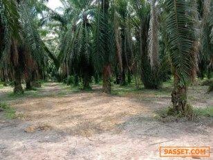ขายด่วน ที่ดิน สวนปาล์ม 2 โฉนด  รวมเนื้อที่ 3 ไร่ ตำบลท่าโรงช้าง อำเภอพุลพิน  จังหวัดสุราษฎร์ธานี