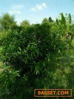 ที่ี่สวนทุเรียนปราจีน 4 ไร่ เก็บผลได้แล้ว ใกล้ศูนย์ราชการปราจีน