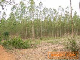ขาย ที่ดิน ราชบุรี สวนยูคา แปลงใหญ่ 70 ไร่ ใกล้ม.พระจอมเกล้าธนบุรี
