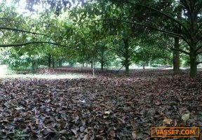 ขายที่ดินสวนผสม ผลไม้ สวนยาง สวนปาล์ม 14-1-95 ไร่  ต.ถ้ำ อ.ตะกั่วทุ่ง จ.พังงา  ห่างจากถนนใหญ่ เพียง 100 ม.