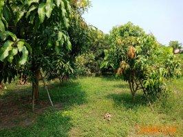 ขายที่สวนผลไม้ ติดถนนคลองสี่ตะวันตก 22 พ.ท. 8-2-62 ไร่ คลอง 4 คลองหลวง ปทุมธานี  มีผลไม้พันธุ์ดีหลากหลาย พร้อมเก็บเกี่ยว