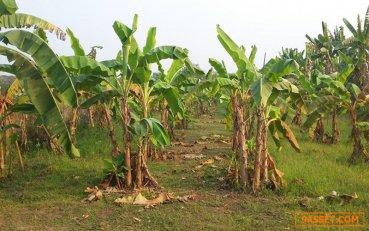 ขายที่ดิน พร้อมสวนมะนาว และ สวนกล้วยหอม มีผลผลิตให้เก็บตลอดปี อยู่ในอำเภอเมืองอุตรดิตถ์