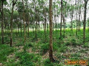 ขายที่ดินพร้อมสวนยาง ติดลำห้วย 25 ไร่ อ.สิรินธร จ.อุบล