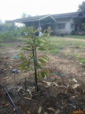ขายที่ดิน+สวนทุเรียน 17ไร่ บ้านเดี่ยว 1 หลัง   จำนวน 8 ไร่1งาน  83.4 ตารางวา